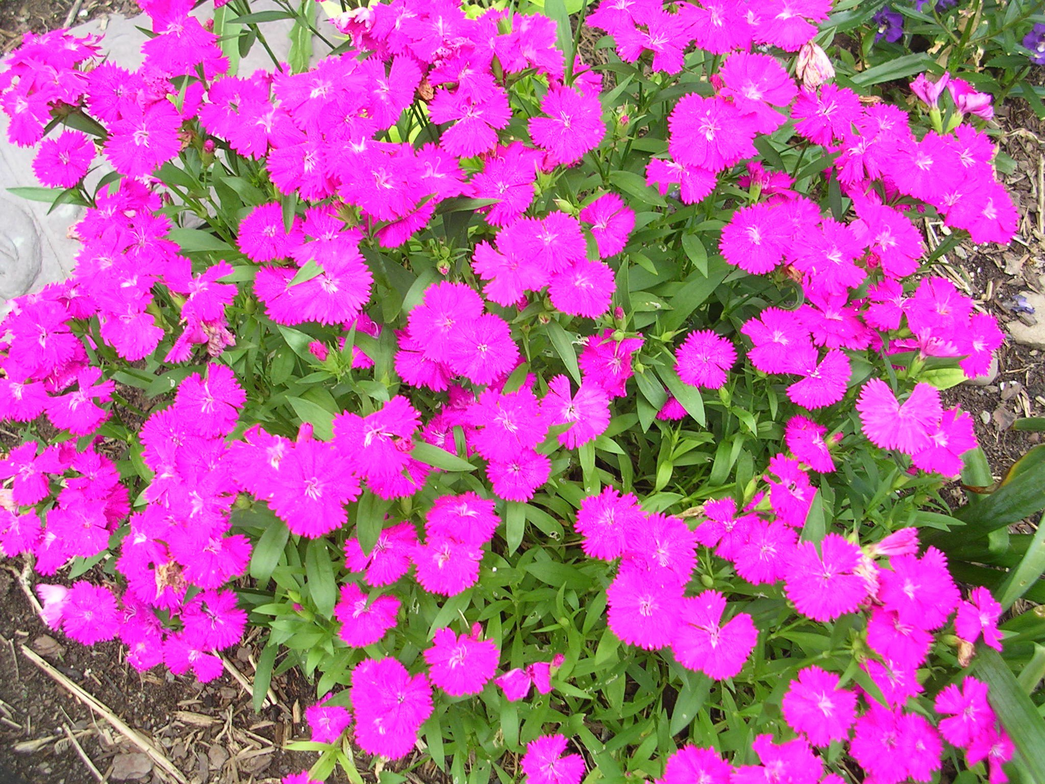 Roses In Garden: How To Grow: Pinks- Growing And Caring For Pinks Or Dianthus