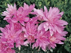How to grow fall flowering bulbs growing bulbs planting bulbs the best known fall flowering bulbs is the autumn crocus probably the most famous is the saffron crocus or crocus sativus the stigmas of the flower are mightylinksfo