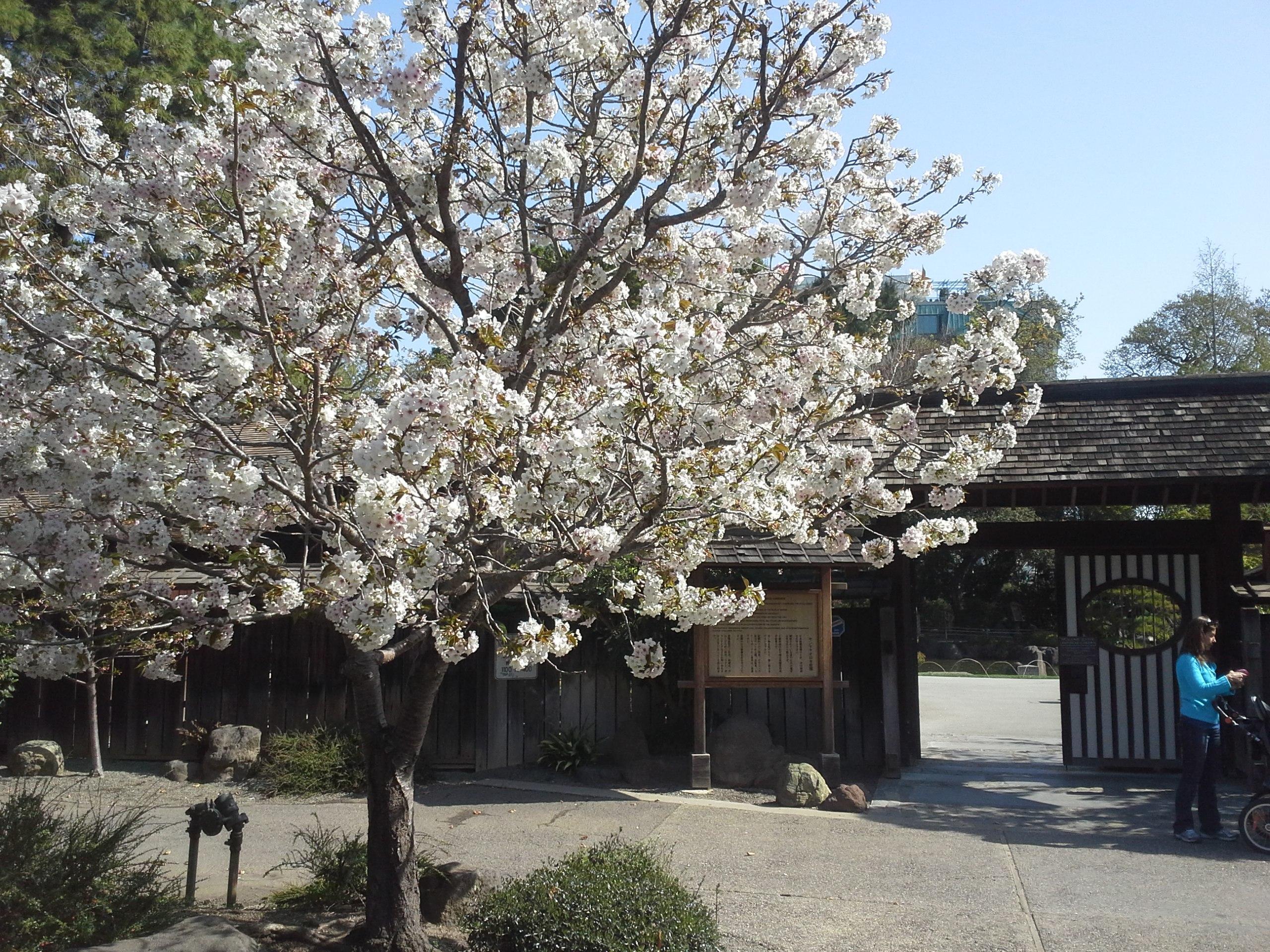 How To Grow Flowering Cherry Growing Flowering Cherry Trees
