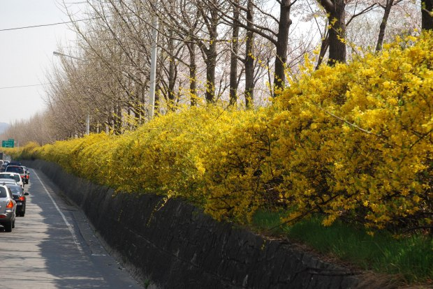 How To Grow Forsythia Growing And Caring For Forsythia