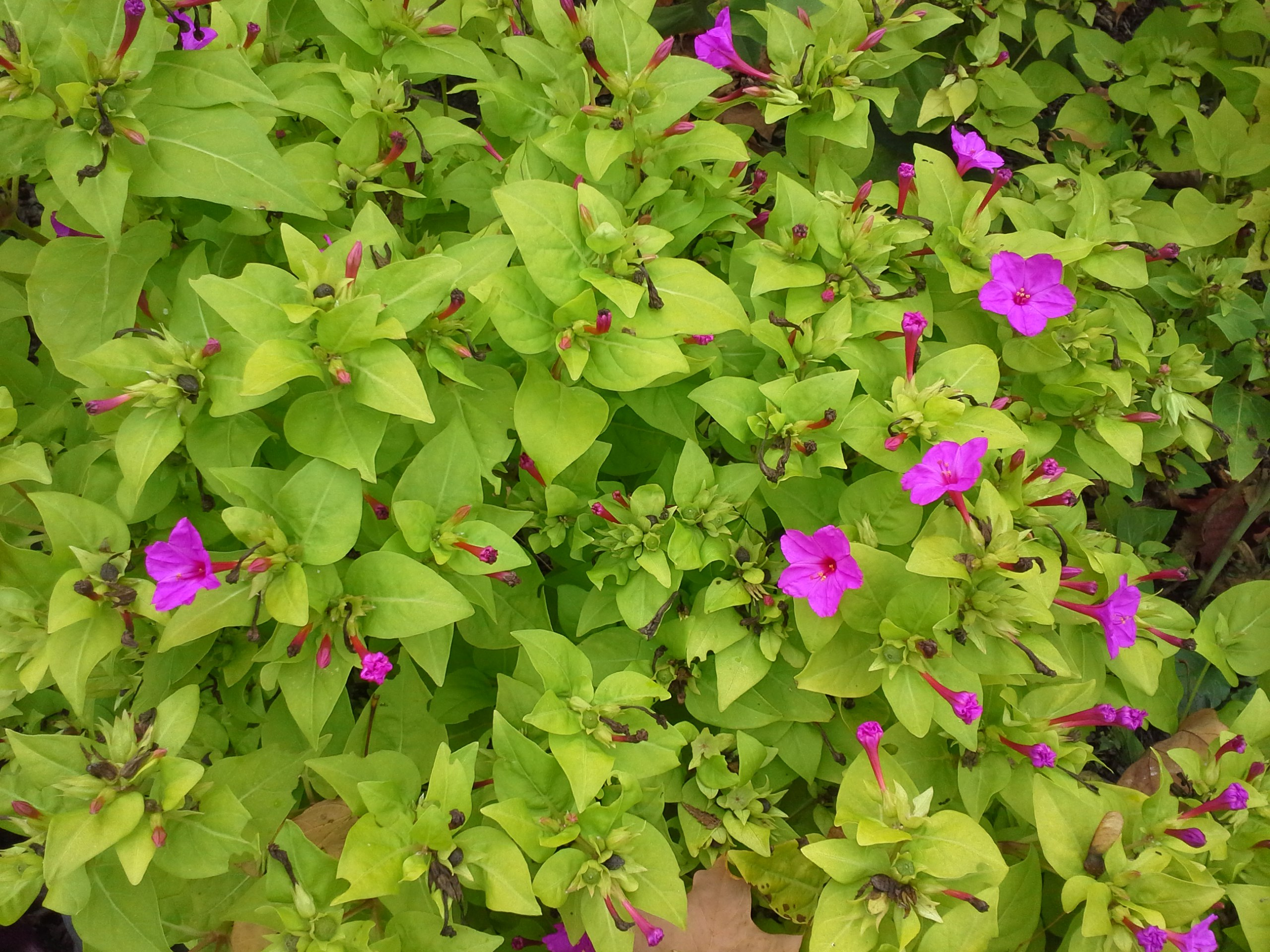 How to grow ageratum gardening four o clocks growing four o clocks mirabilis jalapa fouroclock izmirmasajfo