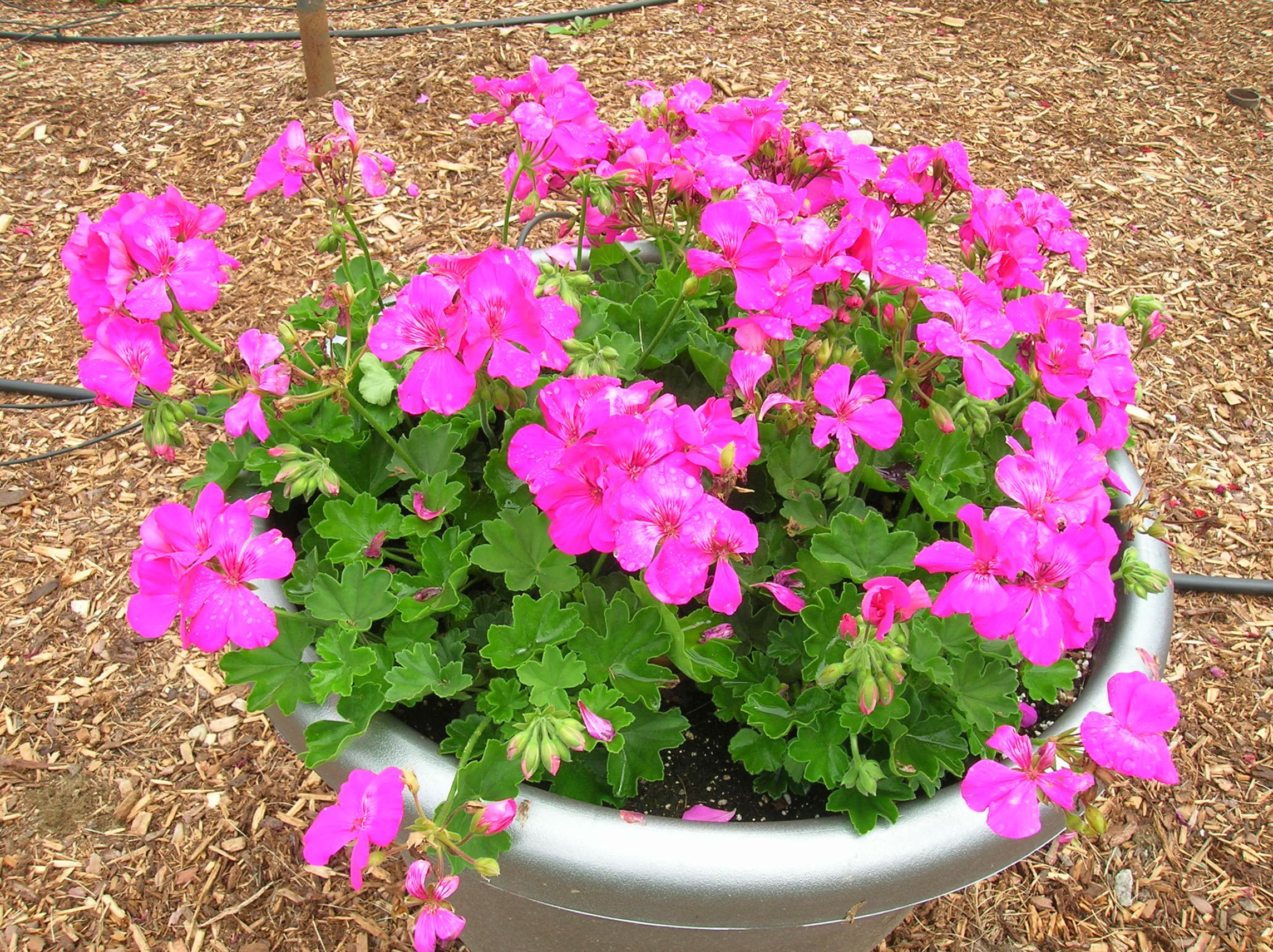 How to grow geranium growing and caring for geraniums - Different types pelargoniums ...