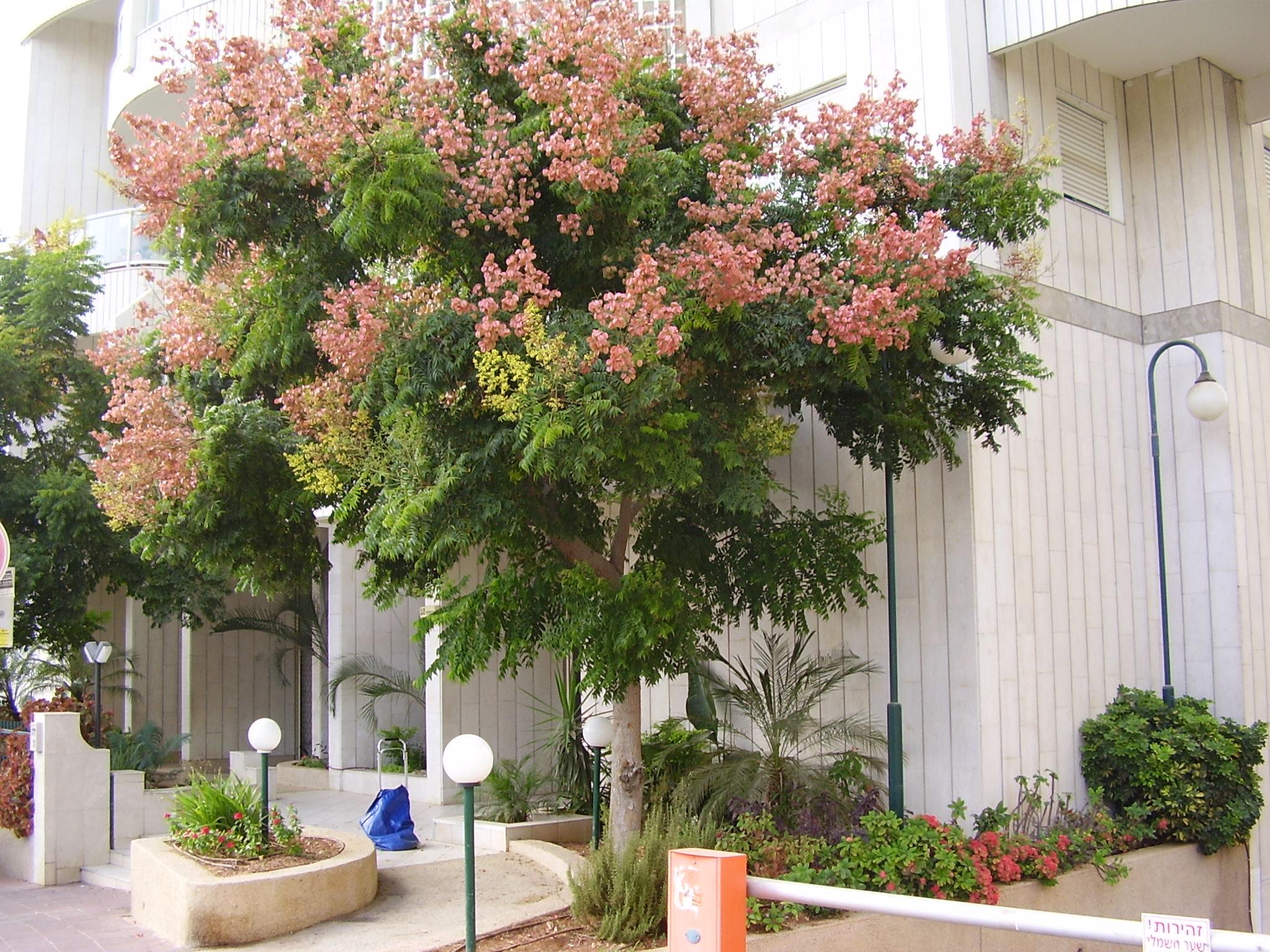 How to Grow Goldenrain Tree growing goldenrain tree