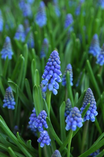How To Grow Grape Hyacinths Growing And Caring For Grape
