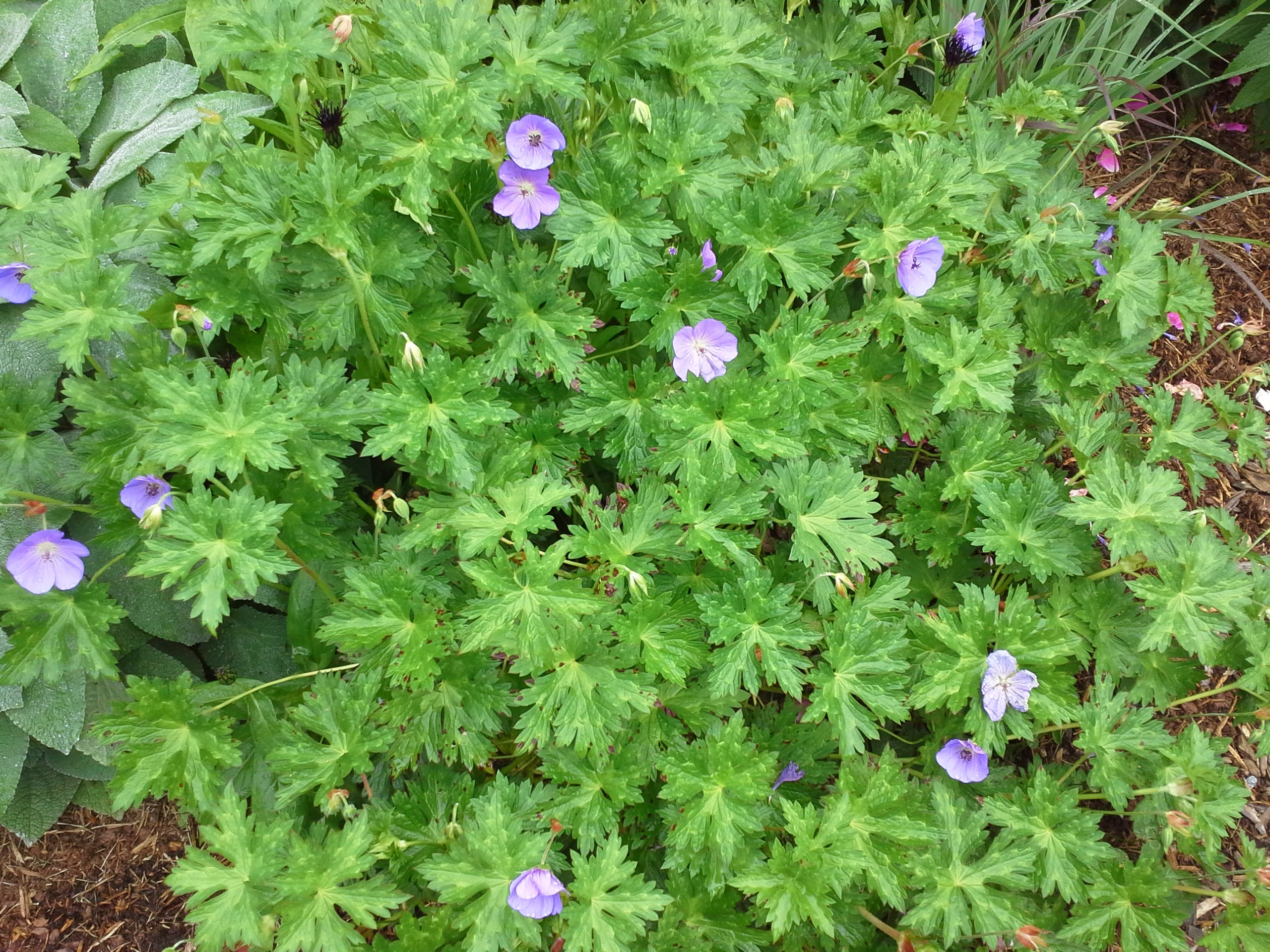 How To Grow Hardy Geranium Growing And Caring For Hardy Geranium