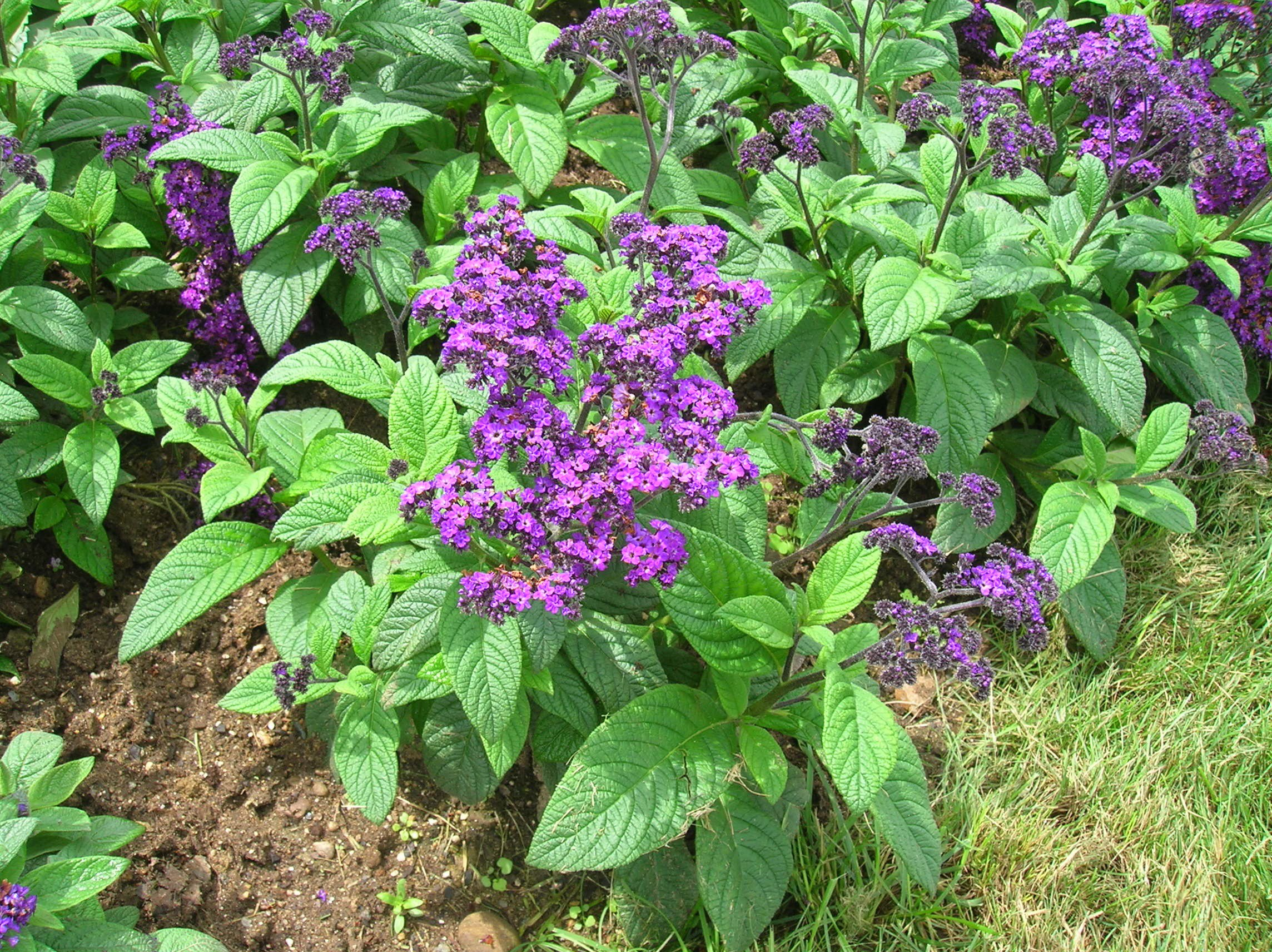 Heliotrope flower: photo with description, features of planting and care 29