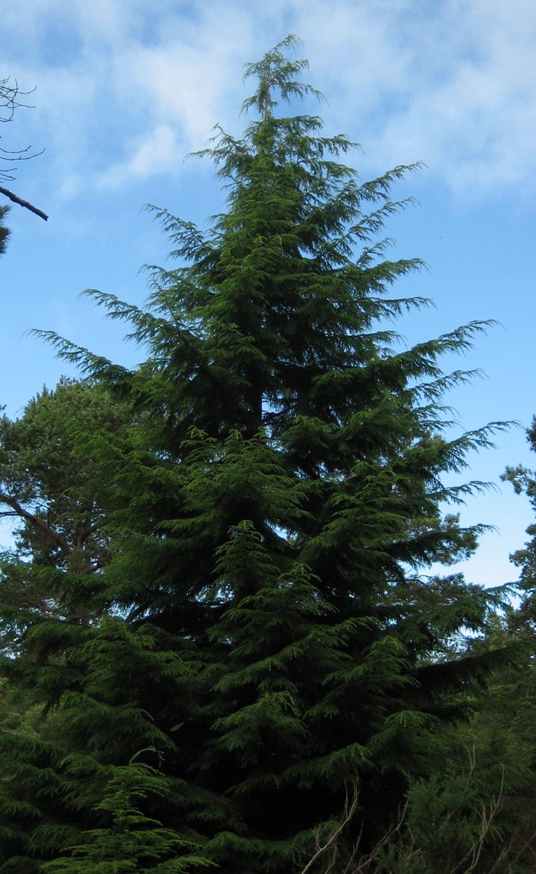 How To Grow Canadian Hemlocks Growing And Caring For