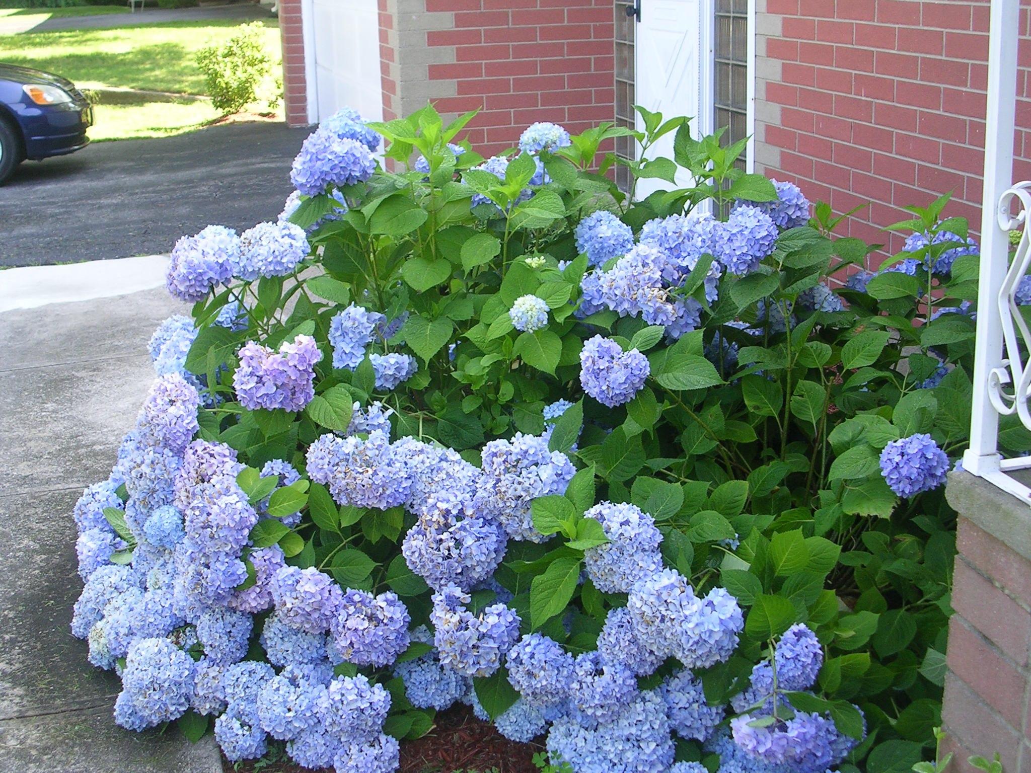Hydrangea Spp And Varieties