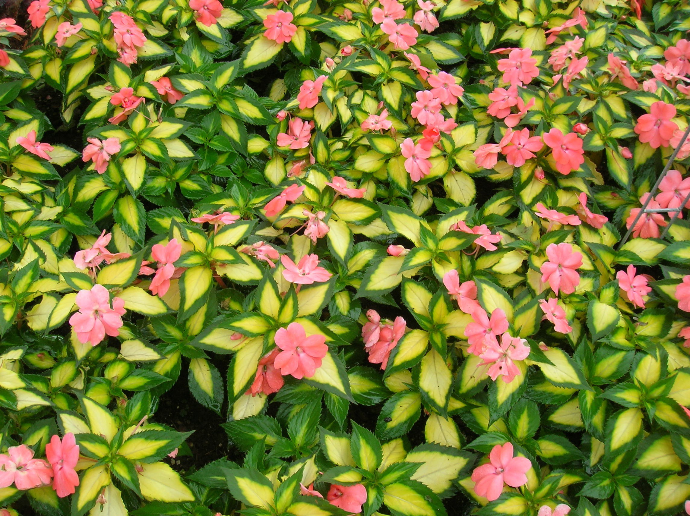 How To Grow Impatiens Growing And Caring For Impatiens