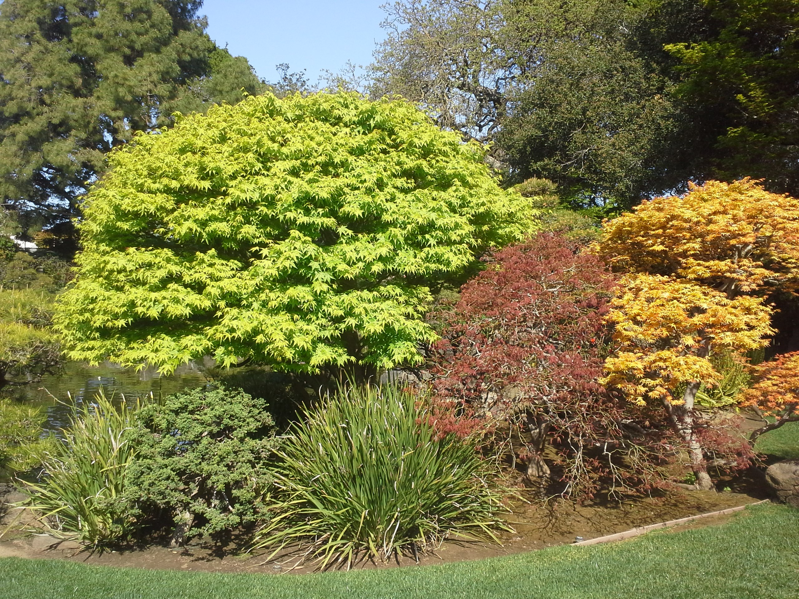 How to Grow: Japanese Maple trees- growing Japanese maple trees