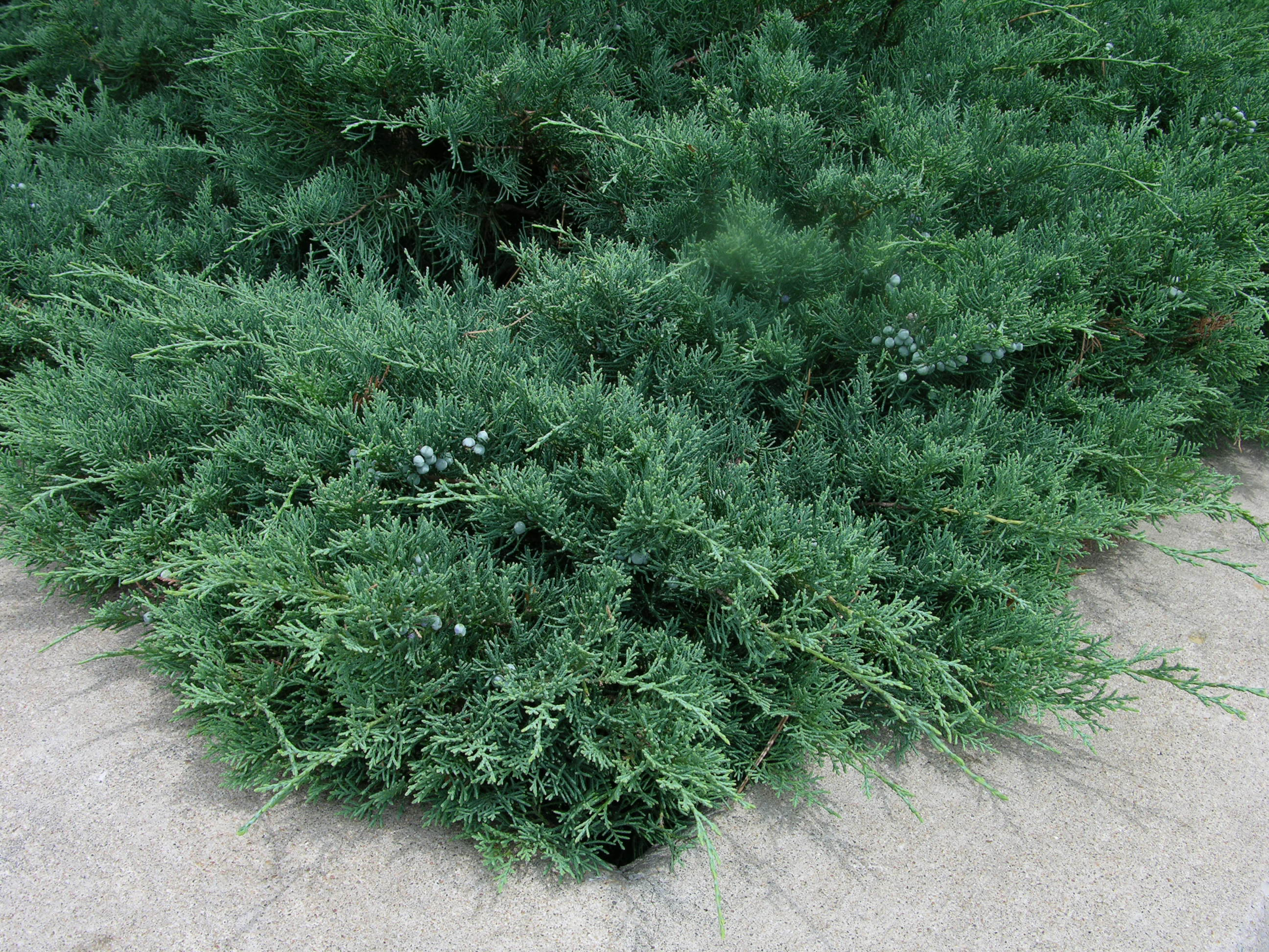How to grow juniper growing and caring for junipers for The juniper