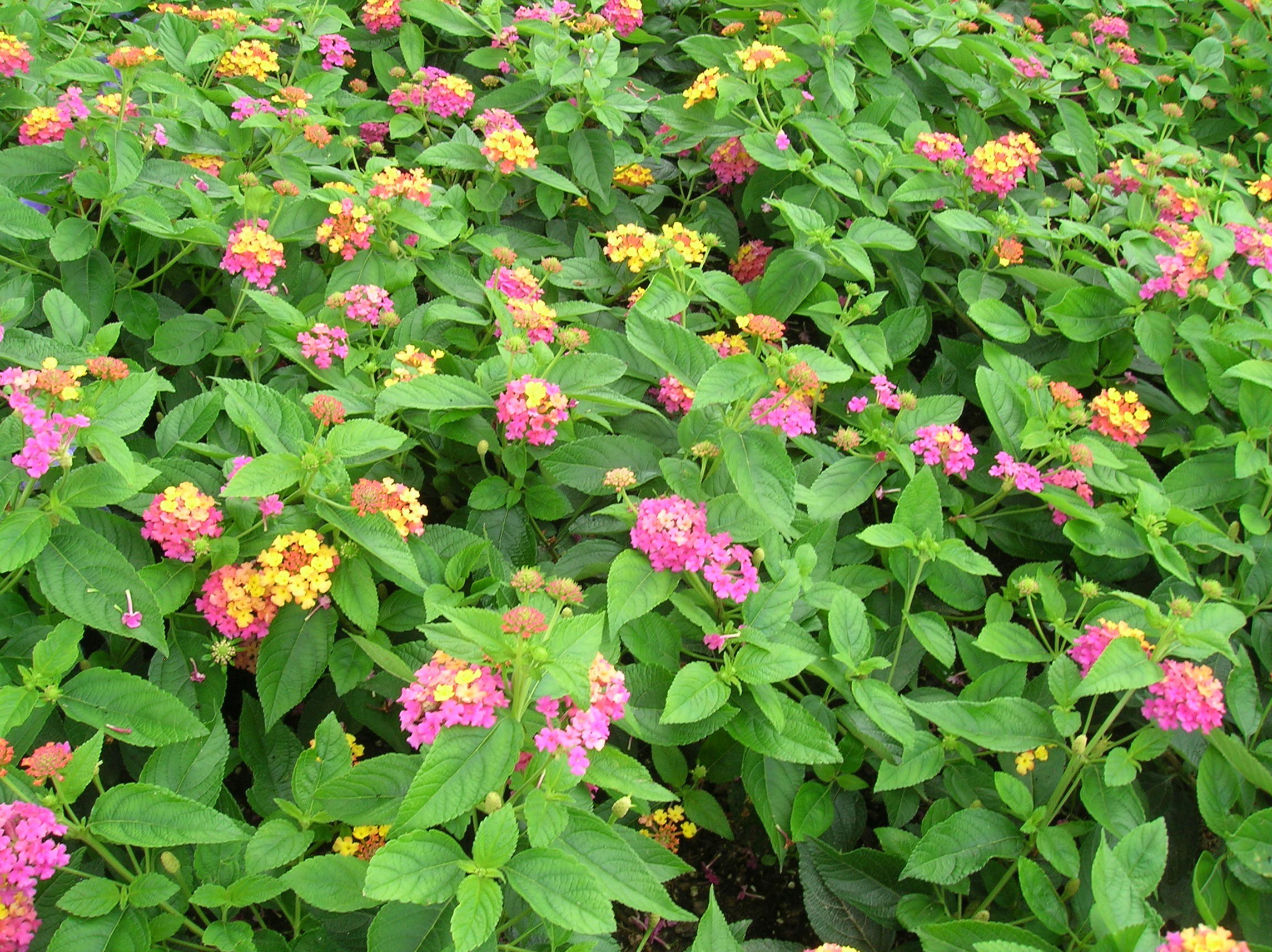 How To Grow Lantana Growing And Caring For Lantana