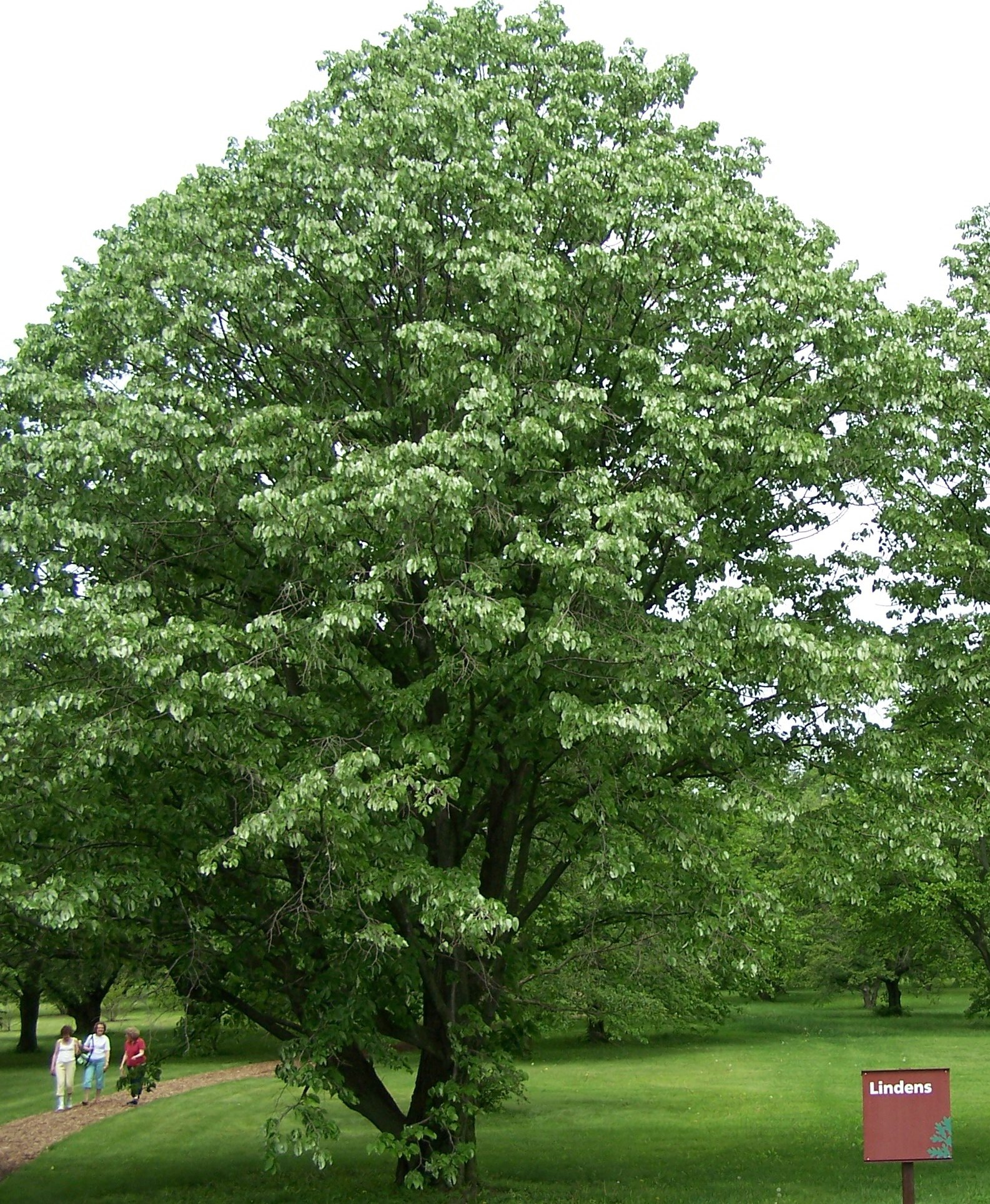 How to Grow: Linden- Growing and Caring for Linden