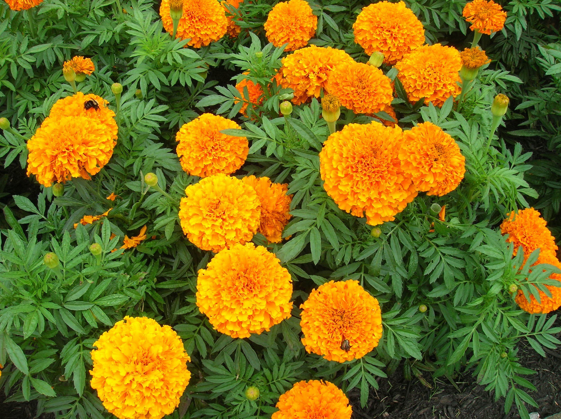 How to Grow: Marigold- gardening marigold, growing marigold- edible