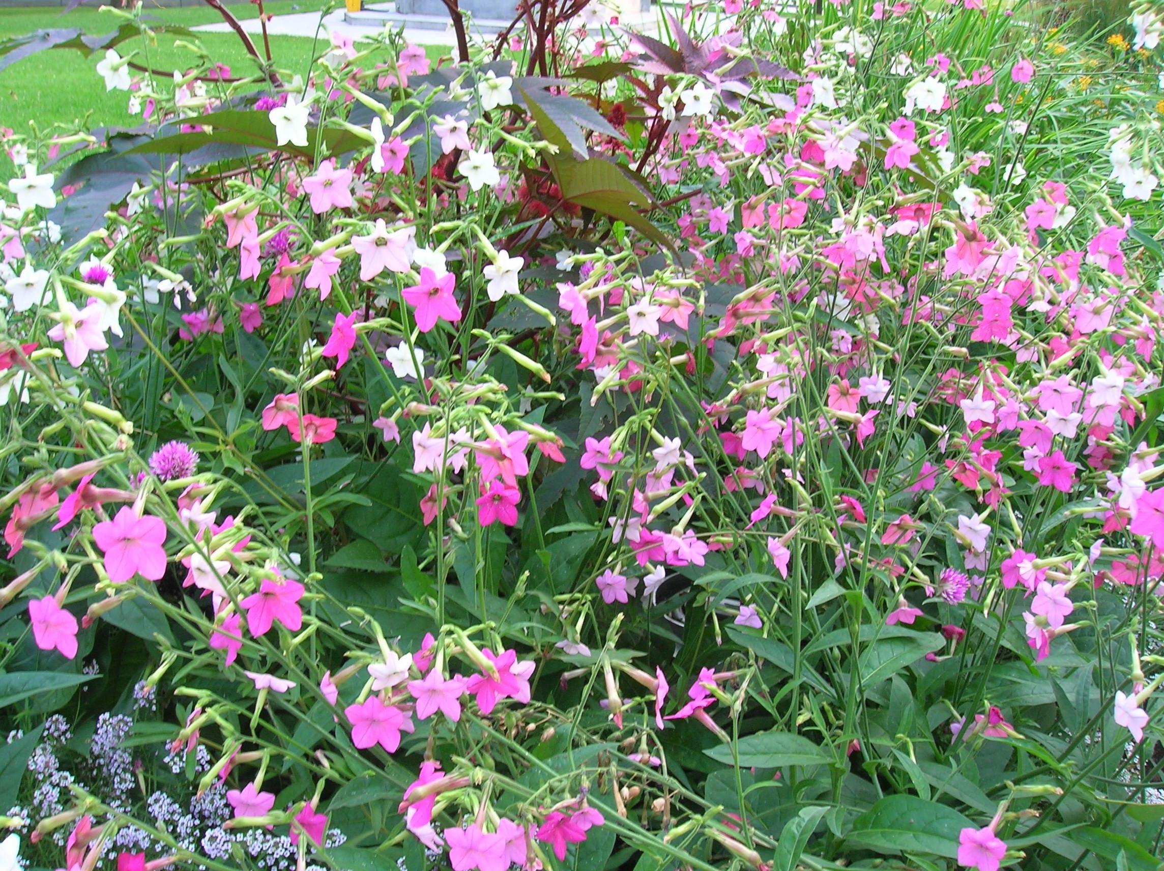 How To Grow Nicotiana Gardening Nicotiana Growing Nicotiana
