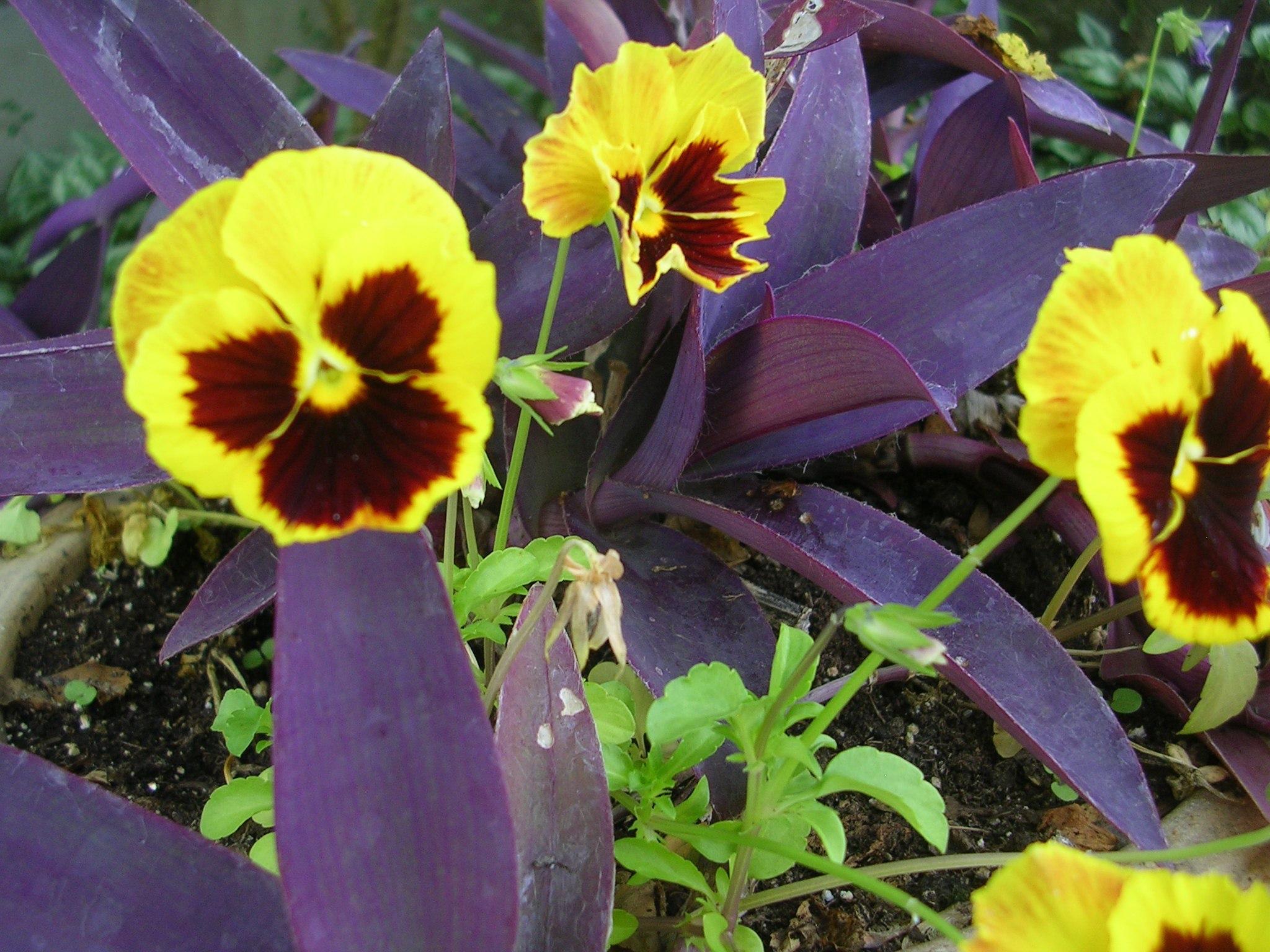 Виола выращивание из семян на рассаду