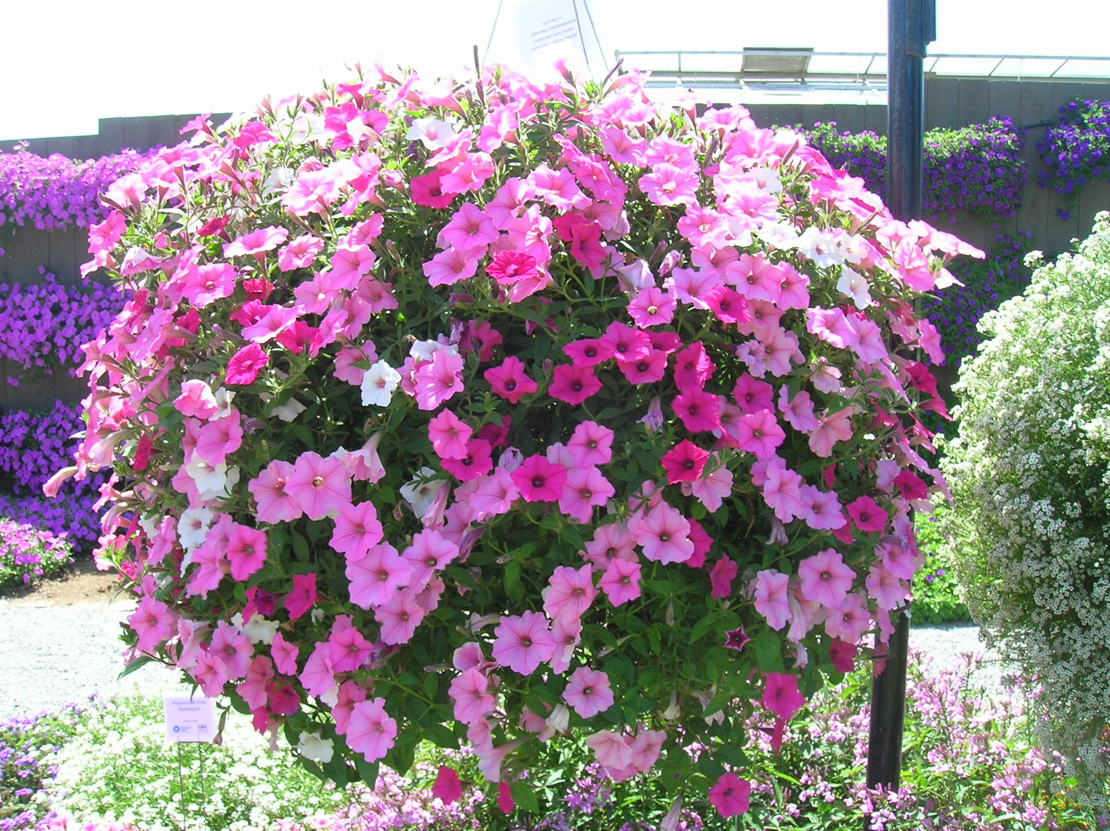 how to grow petunia gardening petunia growing pertunia annual, Natural flower