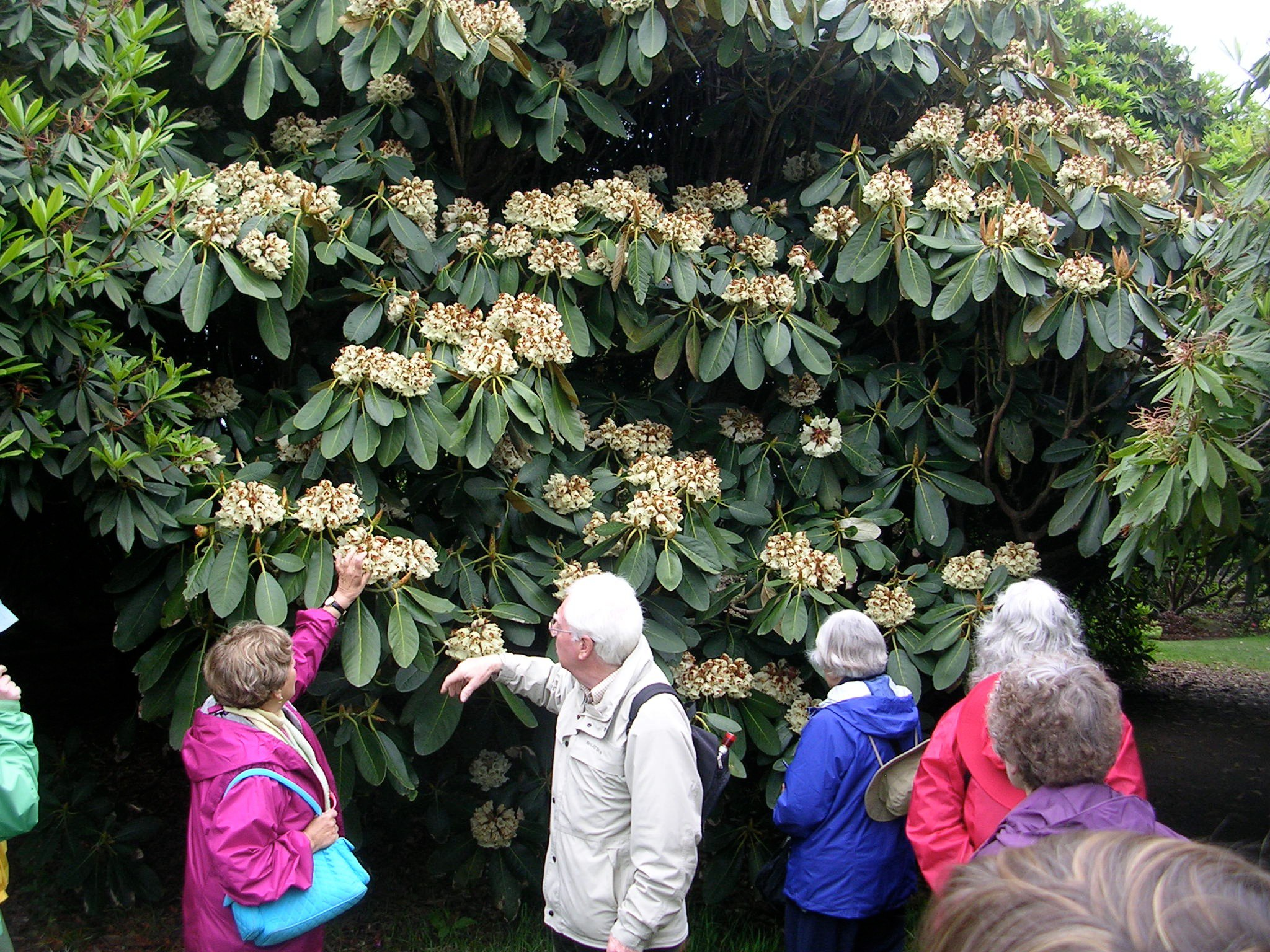 How to grow rhododendrons growing and caring for for How to care for rhododendrons after blooming