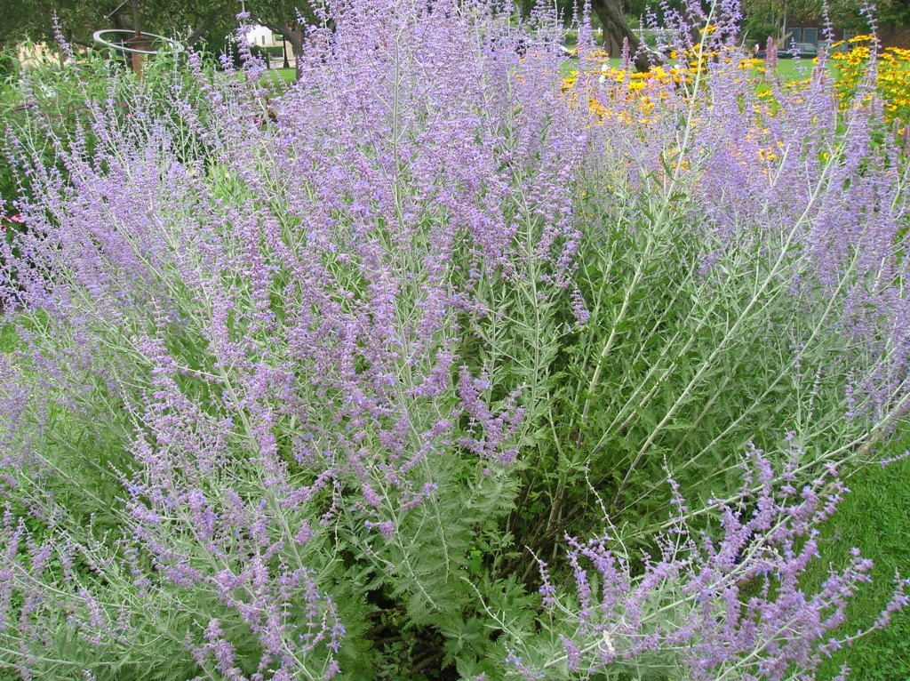 how to grow russian sage from cuttings
