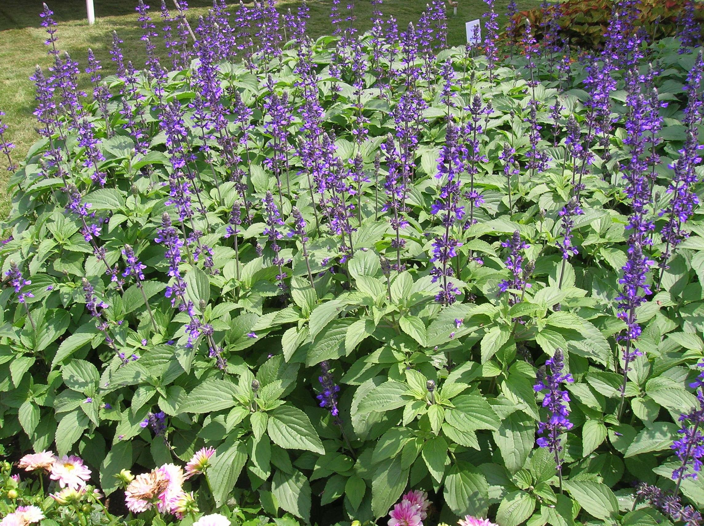How To Grow Salvia Gardening Salvia Growing And Caring For Salvia