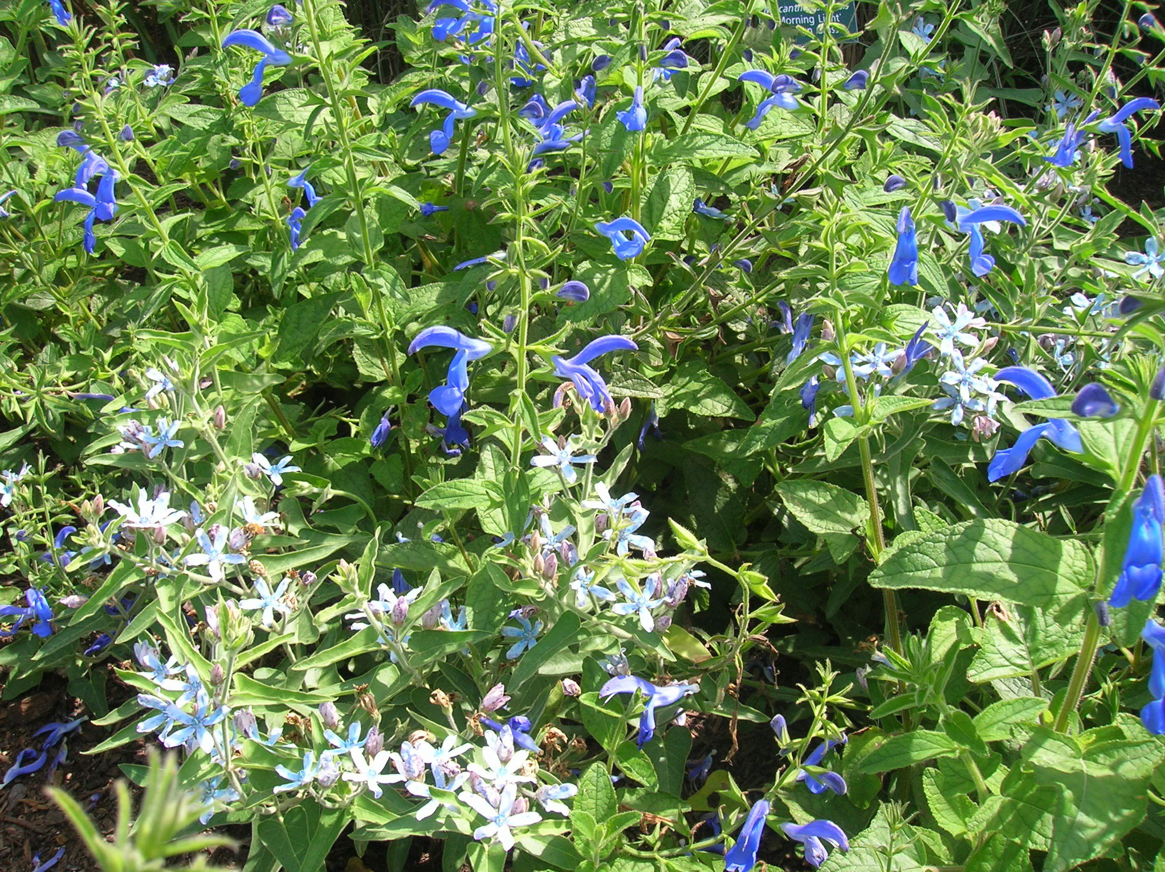 How to grow perennial salvia caring for perennial salvia salvia spp salviaper mightylinksfo