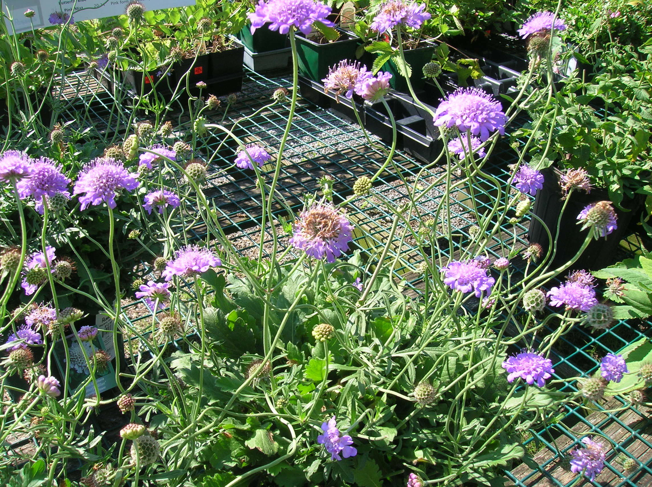 How To Grow Scabiosa Grow Scabiosa And Care For This Annual Flower