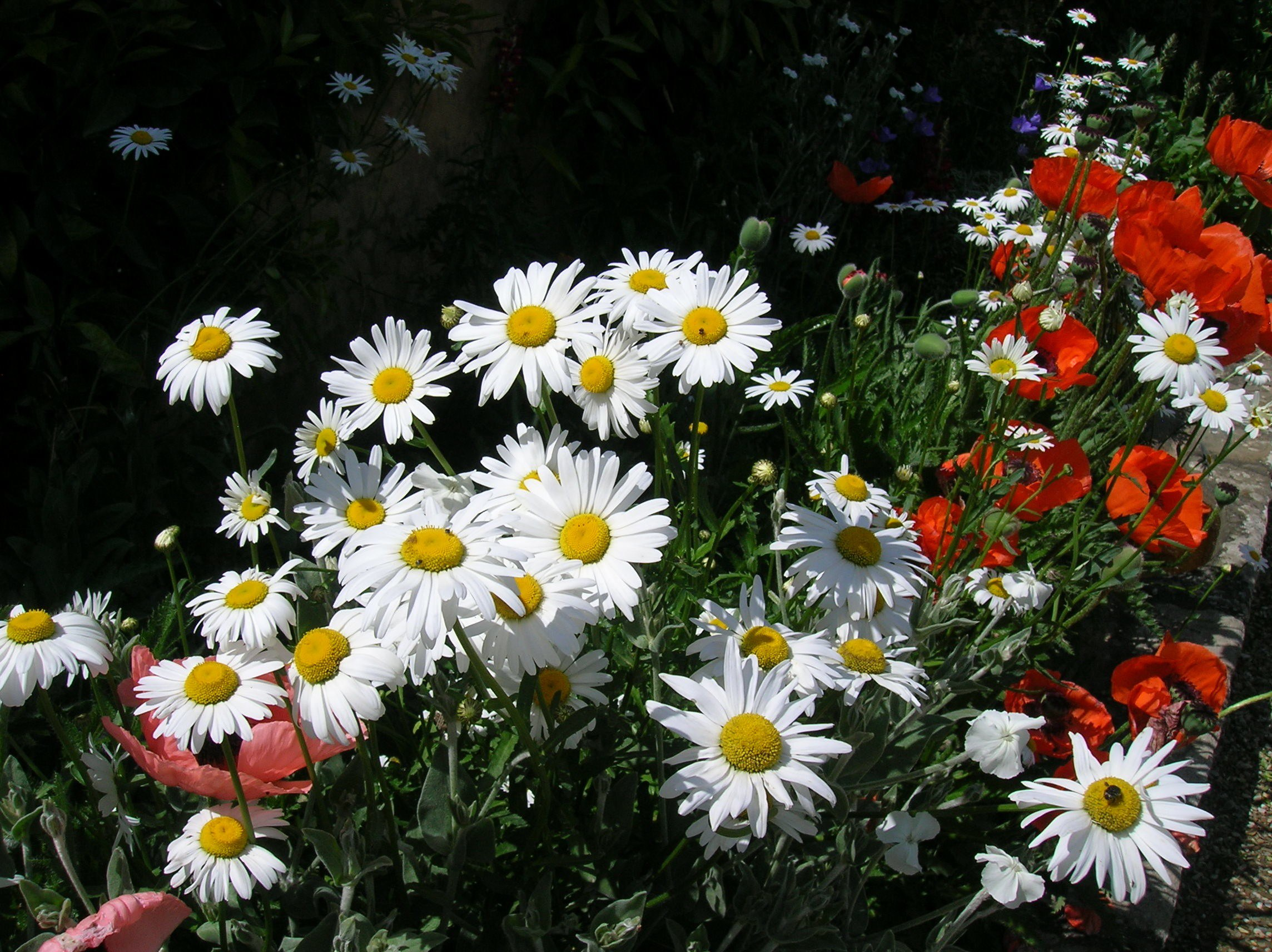 How To Grow Shasta Daisy Gardening Shasta Daisy