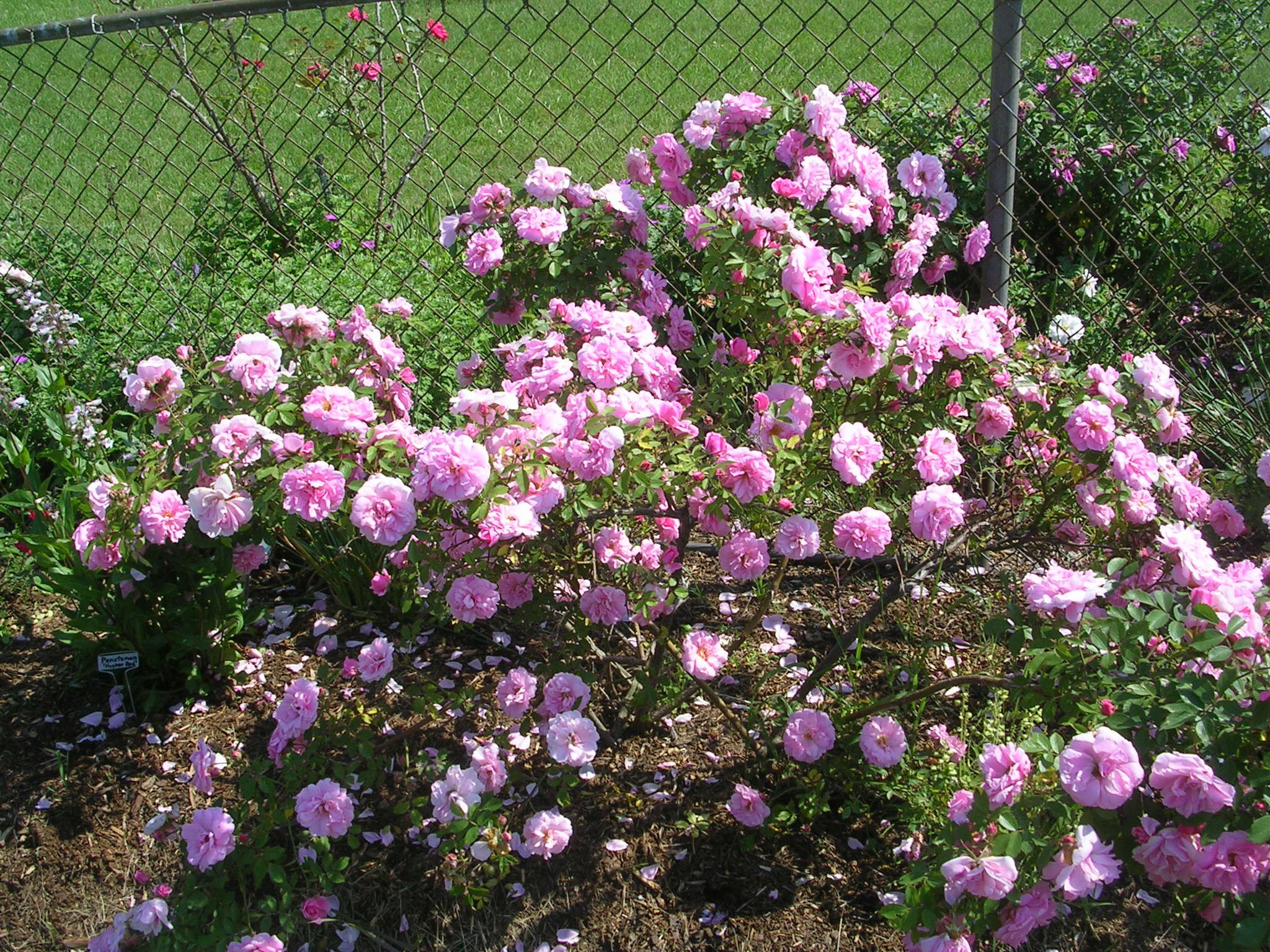 Transplanting Mature Rose Bushes 37
