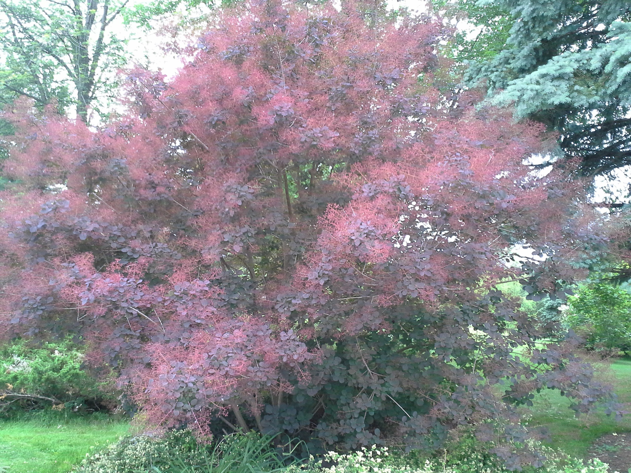 Green Smoke Bush
