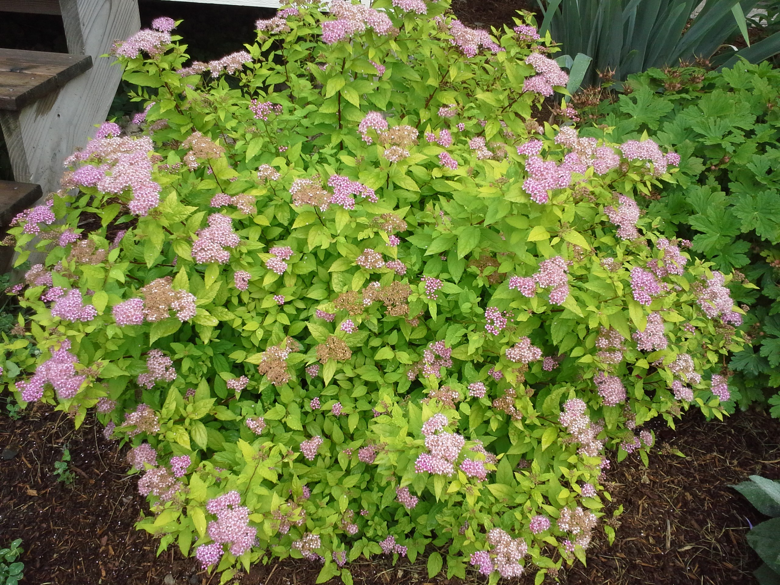 How To Grow Spireas Growing And Caring For Spirea