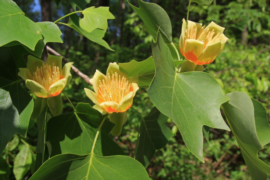 How To Grow Tulip Trees Growing Adn Caring For Tulip Trees