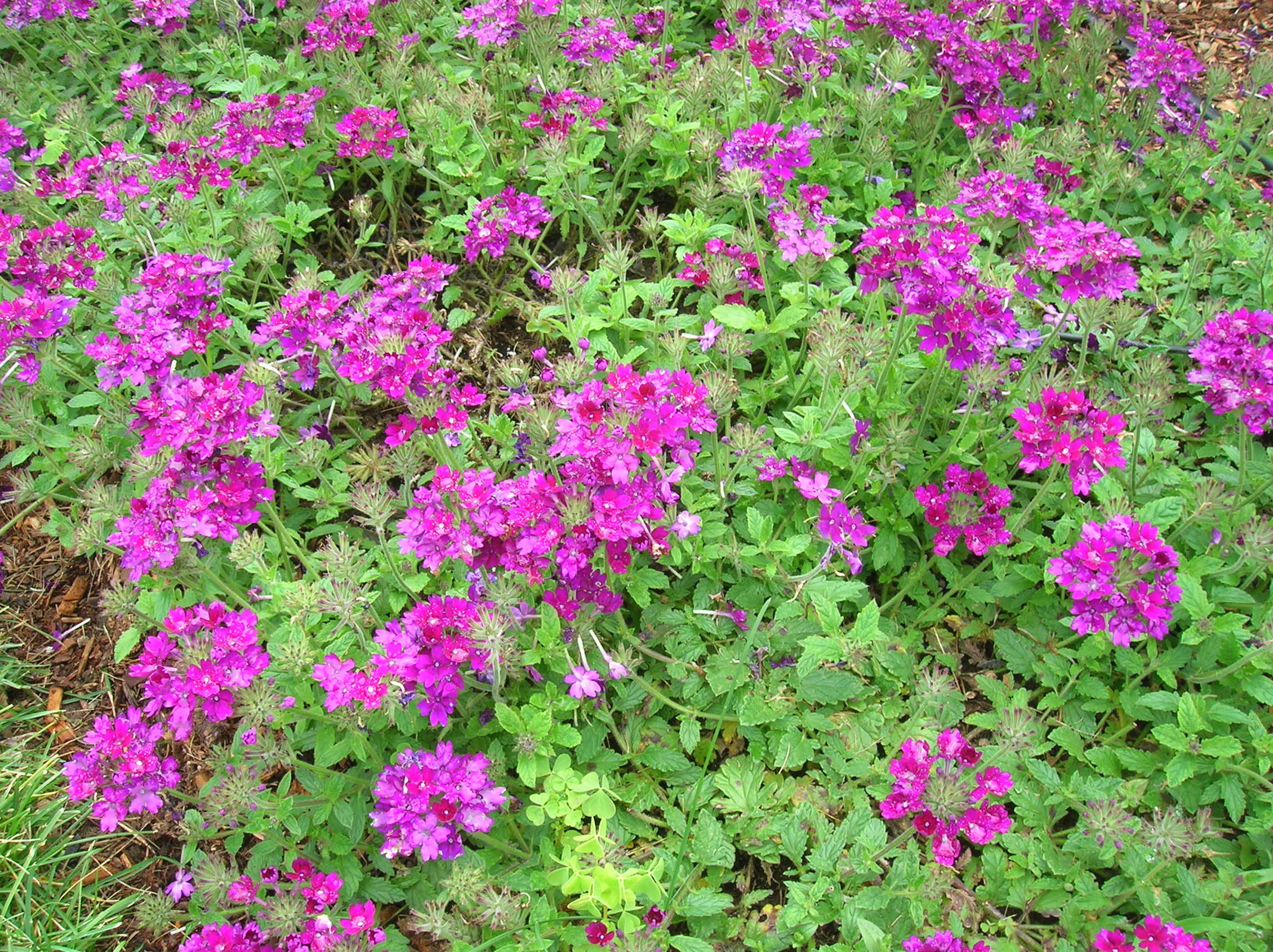 How to grow verbena growing and caring for verbena verbena izmirmasajfo