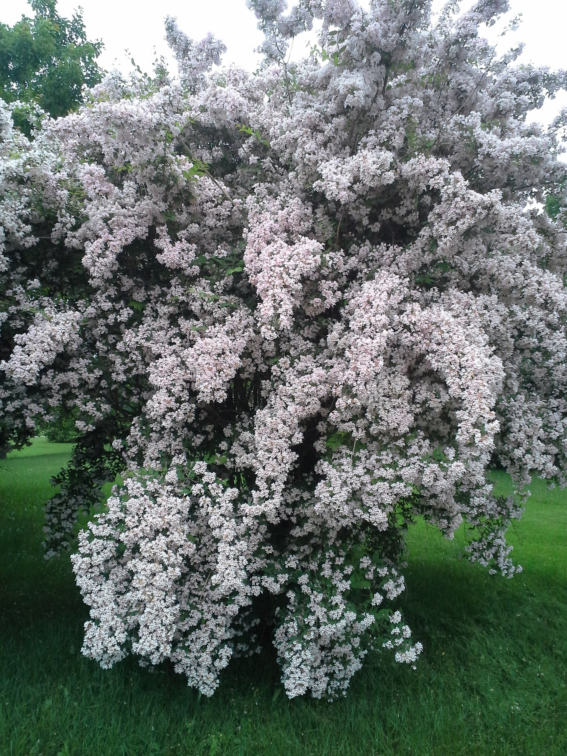 How To Grow Weigela Growing And Caring For Weigela