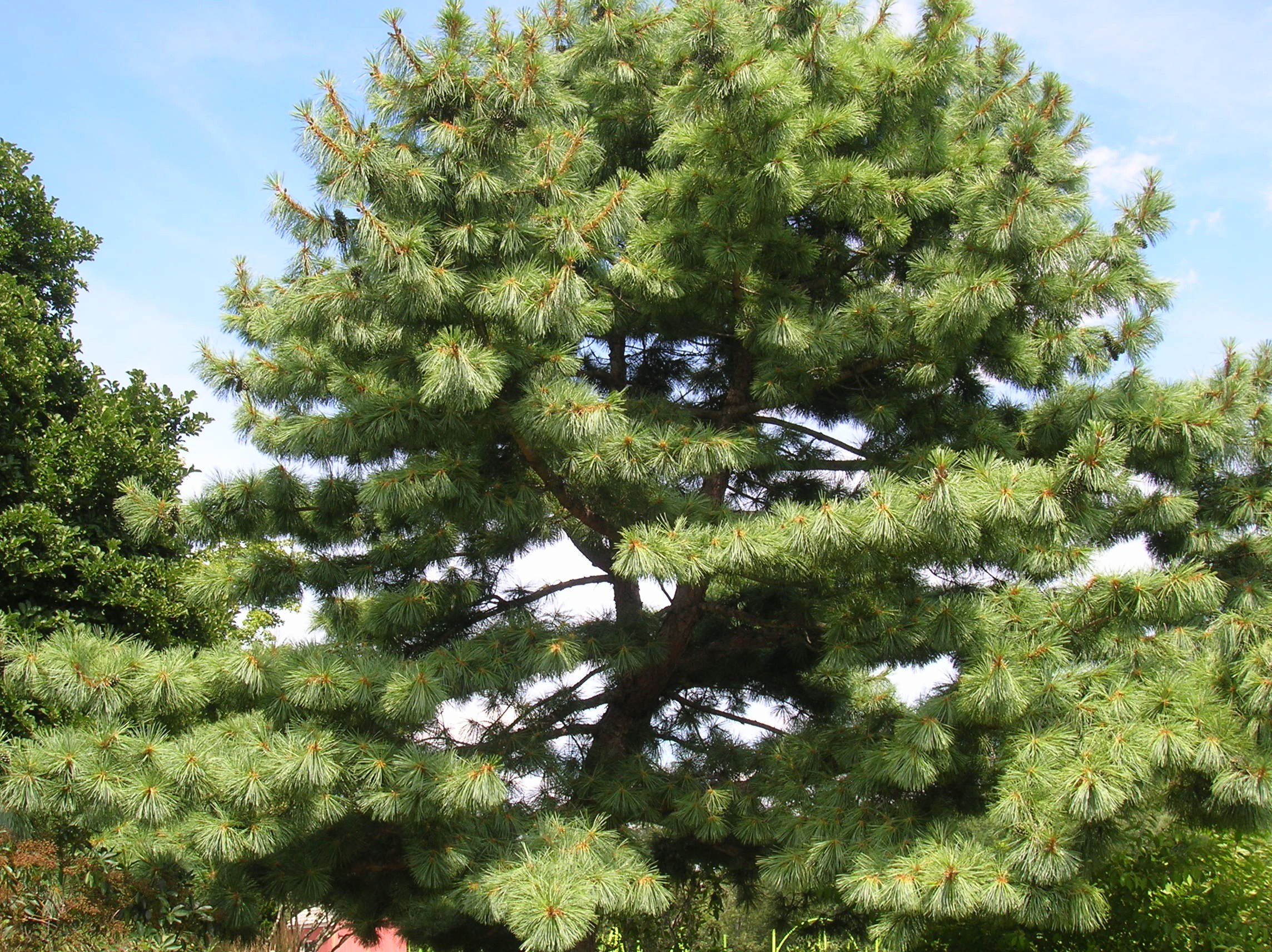How to grow eastern white pine growing eastern white for Mature pine trees