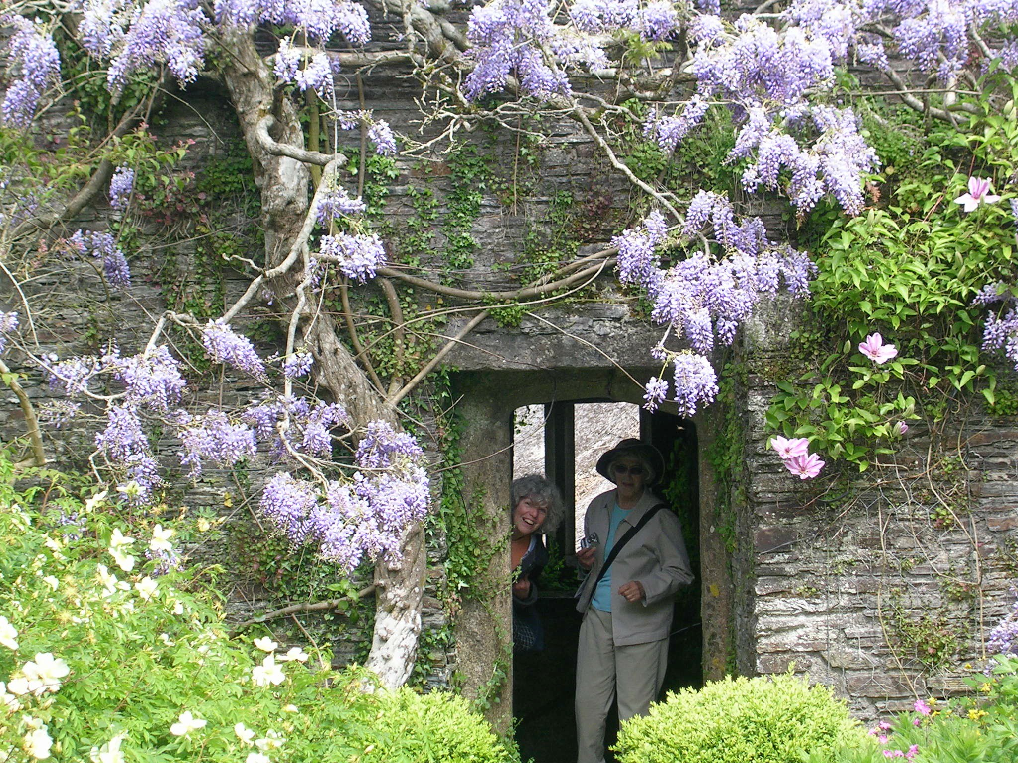How To Grow Wisteria Vine Growing And Caring For