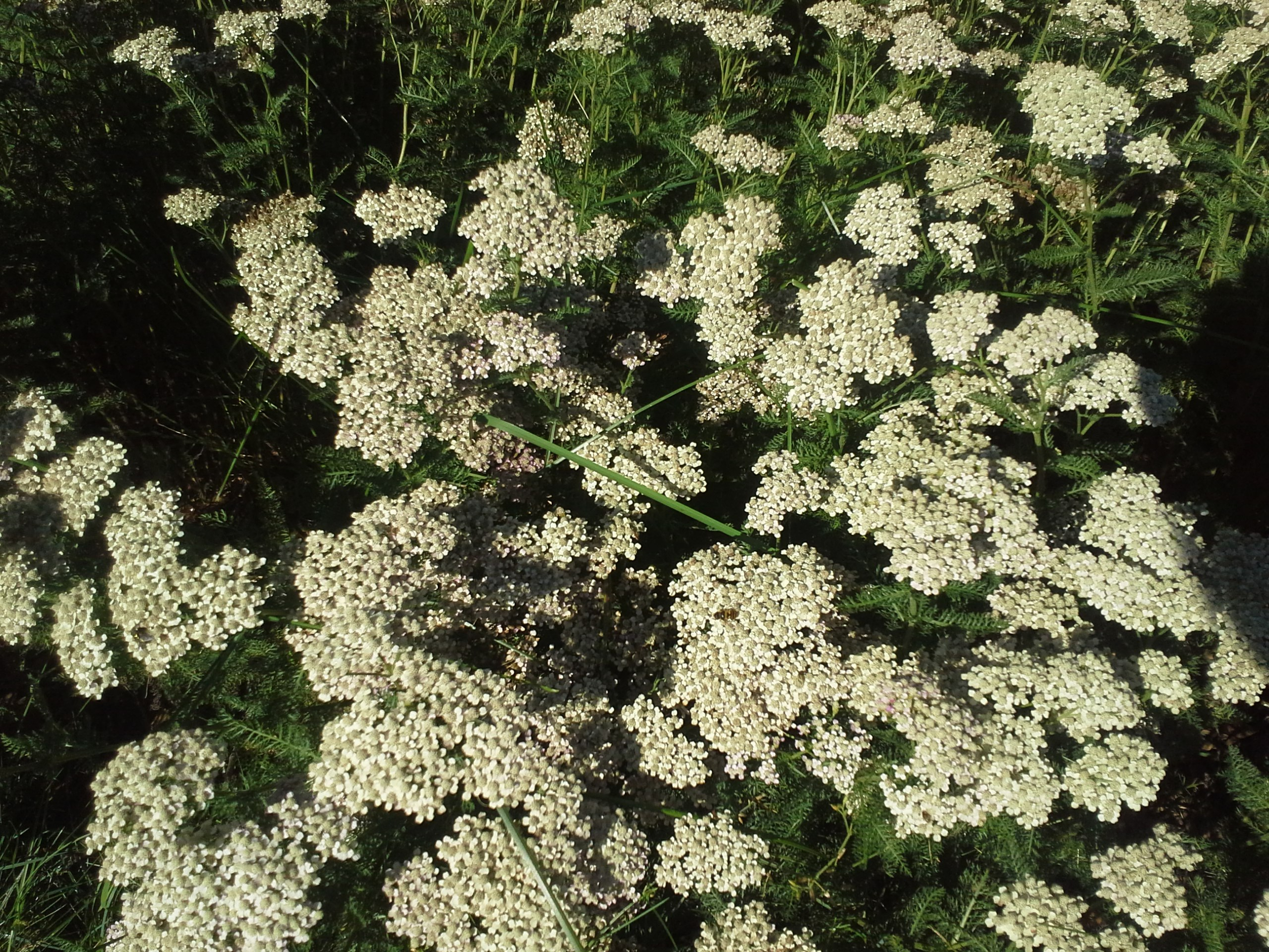 How To Grow Yarrow Growing And Caring For Yarrow