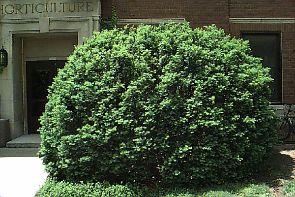 How To Grow Yews Growing And Caring For Yews