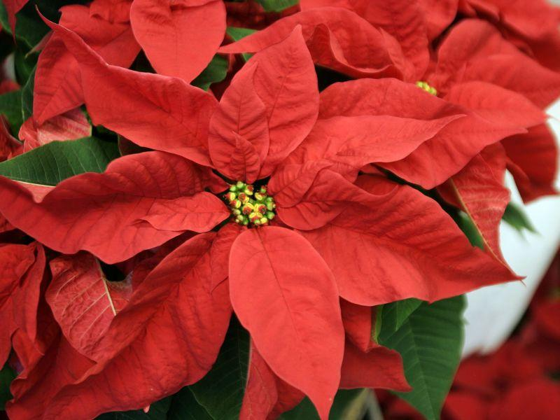 How To Grow Growing And Caring For Holiday Plants