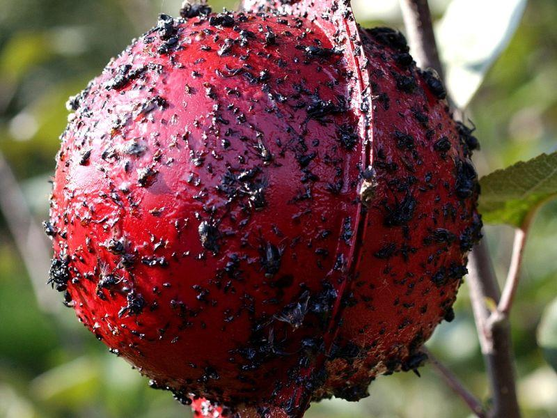 how to grow  controlling apple pests