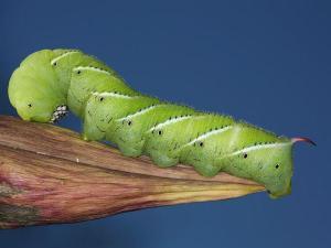 tom hornworm-20140905