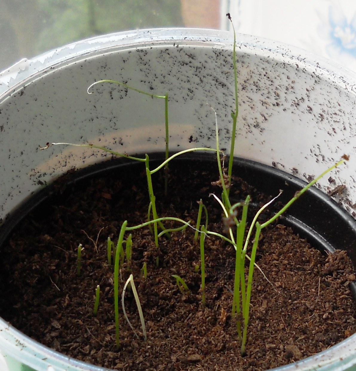 How To Grow Chives Gardening With Charlie