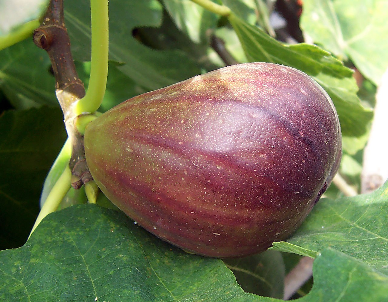 How To Grow Figs Growing And Caring For Fig Trees