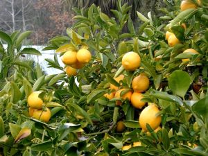 Lemon_tree_Berkeley_closeup