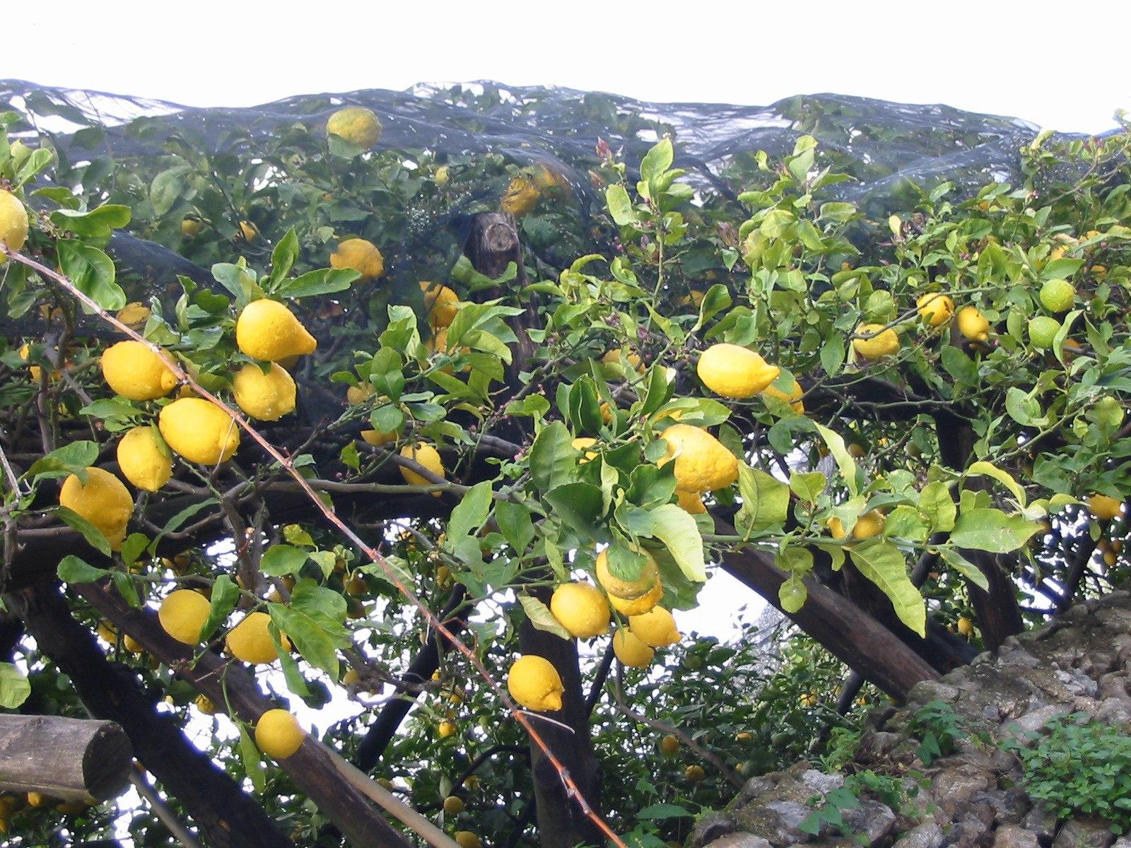 Best Plant Food For Lemon Tree
