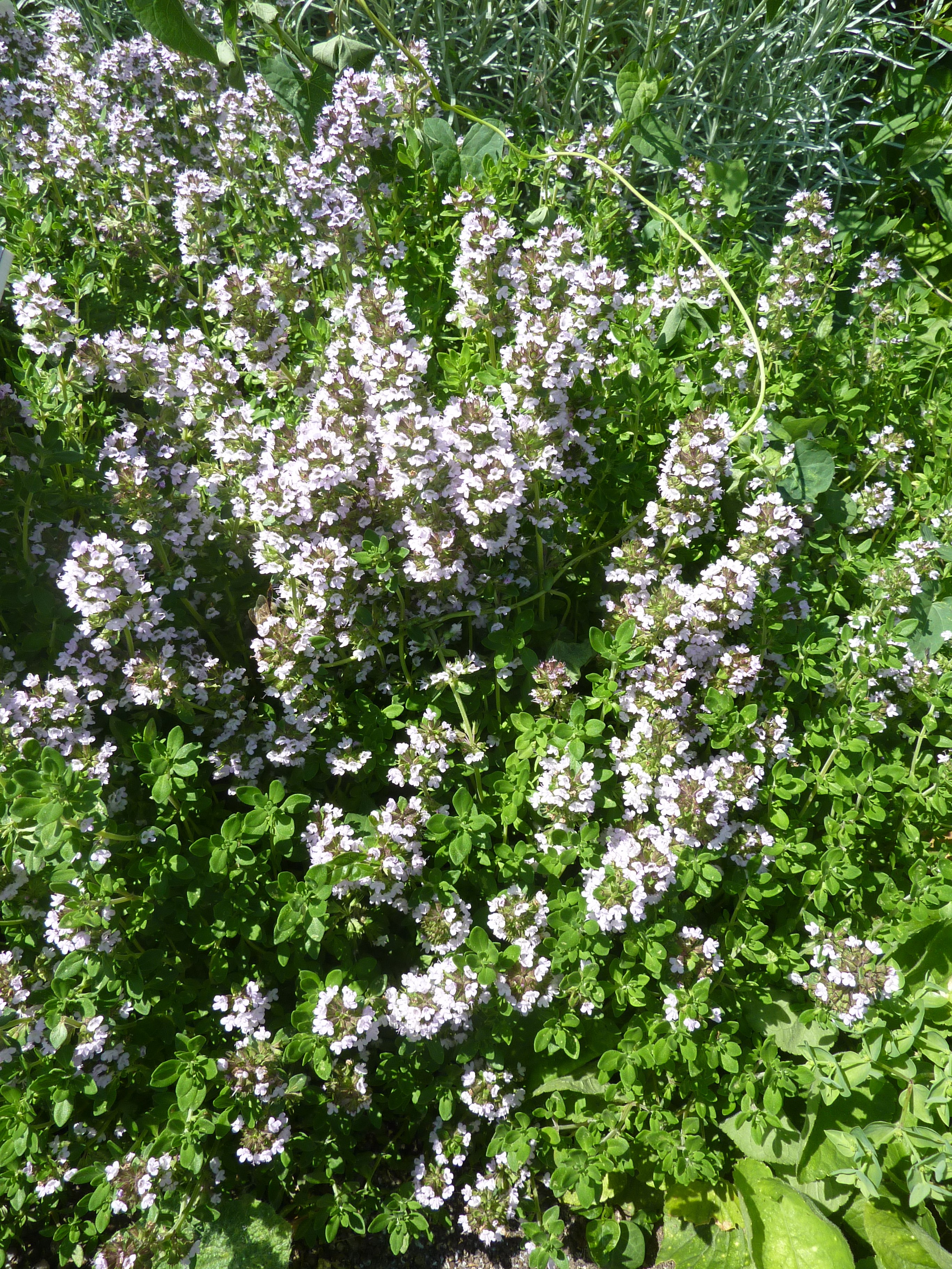 How to grow thyme and oregano gardening with charlie how to grow thyme and oregano mightylinksfo