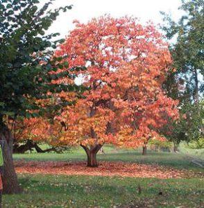 american-persimmon-tree