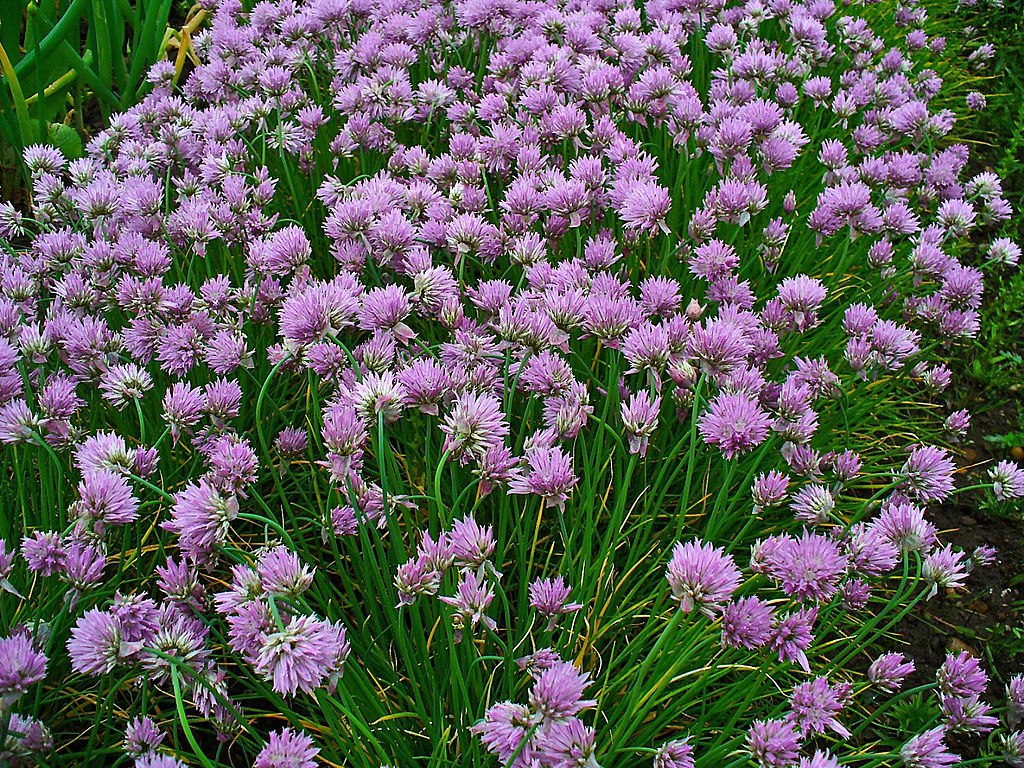 There S Even A Chive1 Garlic