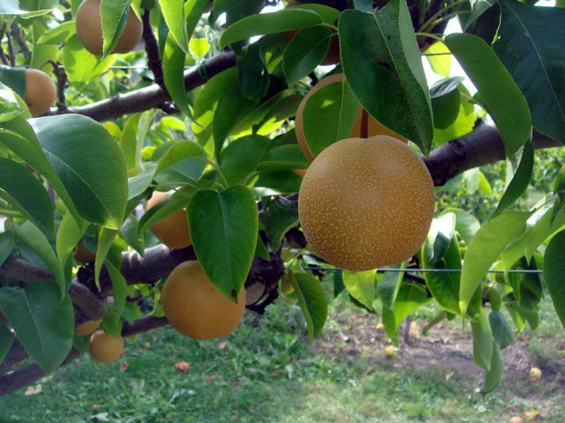 Consider, that growing asian pear tree can suggest