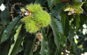 chestnut-tree