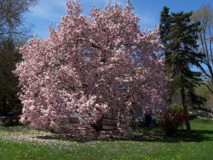 How To Grow Magnolia Growing And Caring For Magnolia Trees